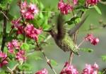 swanlakehummingbird