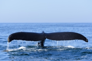 Nova Scotia - Bay of Fundy Humpback whale