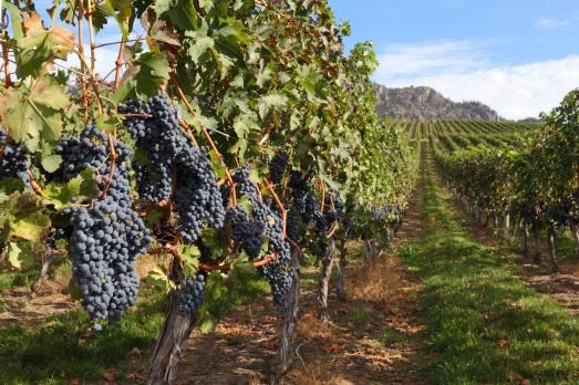 Okanagan vineyards_86651131