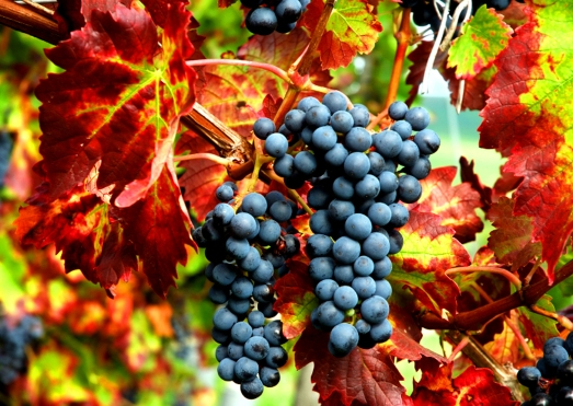 grape fall harvest