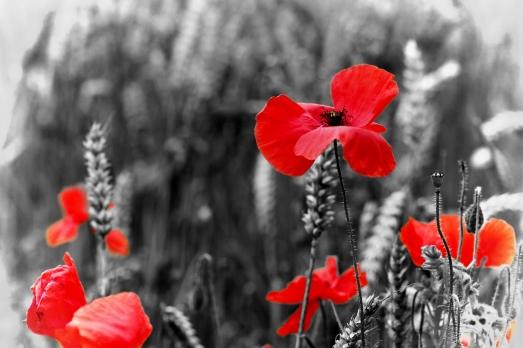 poppies_115185034