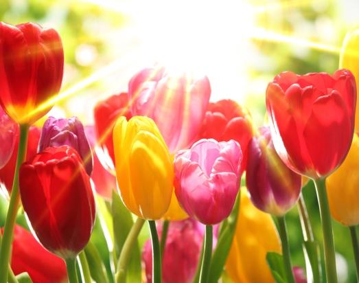 tulips_127926050
